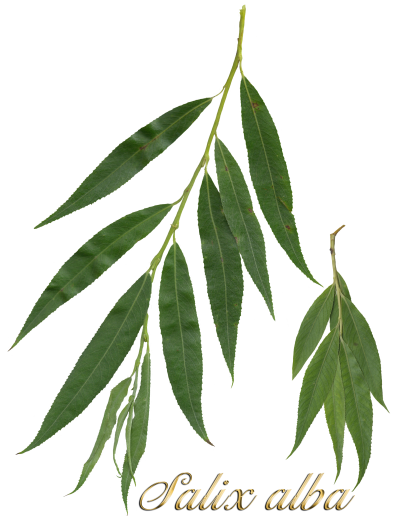 File:Salix alba leaves2.png - Wikimedia Commons