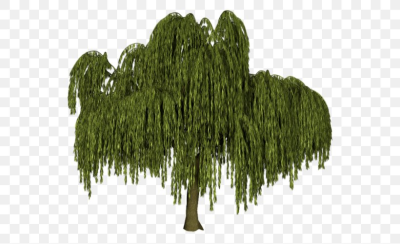 Tree Weeping Willow Black Willow Salix Alba Plant, PNG, 550x501px ...