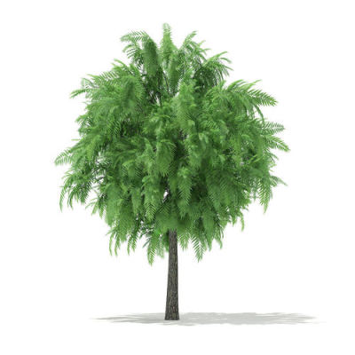 3D White Willow Salix alba 4m | CGTrader