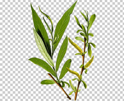 Salix Alba Bark Tree Salix Fragilis Weeping Willow PNG, Clipart ...