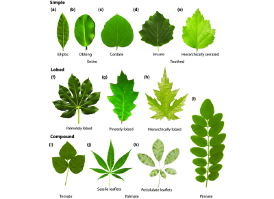 Examples of diverse shapes and features of eudicot leaves. (a ...
