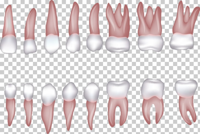 Human tooth Incisor Homo sapiens , Various shapes of teeth PNG ...