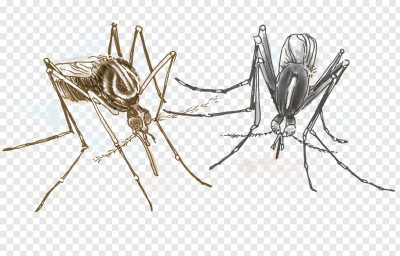 Aedes albopictus Yellow fever mosquito Insect Invertebrate Dengue ...