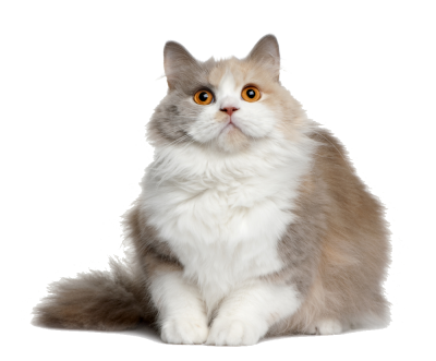 Cat PNG File