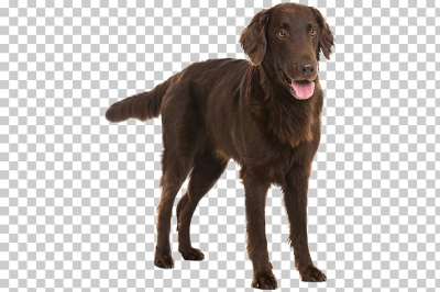 Flat-Coated Retriever Labrador Retriever #1278037 - PNG Images - PNGio
