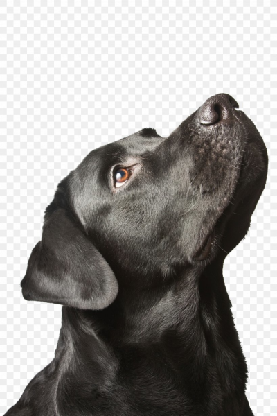 Labrador Retriever Puppy Black Dog Syndrome, PNG, 2592x3888px ...