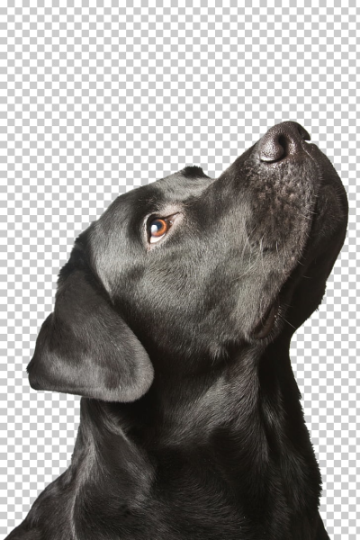Labrador Retriever Puppy Black dog syndrome, puppy PNG clipart ...
