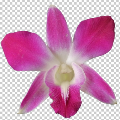 Crimson Cattleya Christmas Orchid Dendrobium Orchids Pigeon Orchid ...