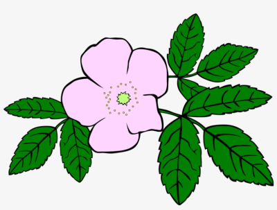 Prickly Wild Rose Drawing Download Flower Watercolor - Clip Art ...