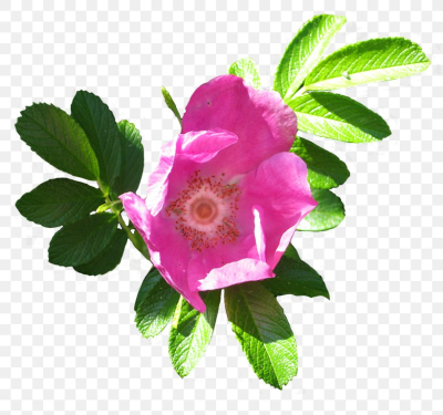 Glaucous Dog Rose Dog-rose Beach Rose Cabbage Rose Clip Art, PNG ...