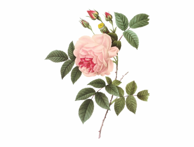 Vintage Rose Botanical Illustration Redoute Rose - Clip Art Library