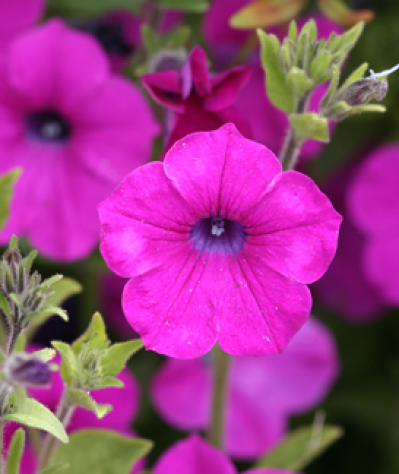 Petunia integrifolia - Buy Online at Annie's Annuals | Petunias ...