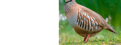 1 Game birds: Spain's red-legged partridge (Alectoris rufa ...