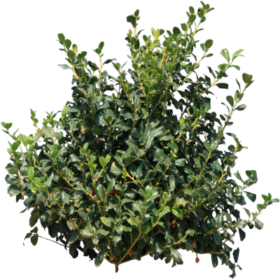 Berry Berry Bush Transparent & PNG Clipart Free Download - YAWD