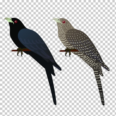 Asian koel Bird House crow Common myna , asian PNG clipart | free ...