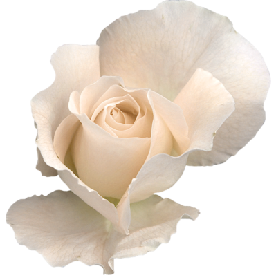 White Rose Transparent