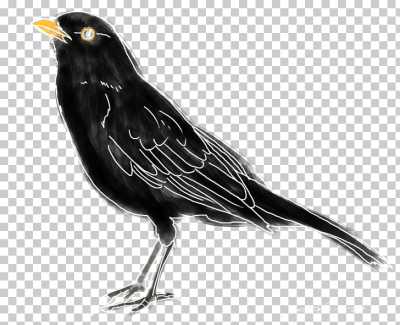 American crow Common blackbird Ring ouzel Black thrush, Bird PNG ...