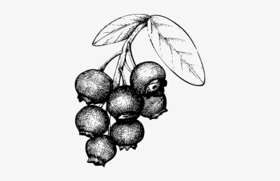 Plymouth Sloe Gin Based On A Classic - Berry Drawing Png PNG Image ...
