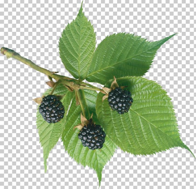 BlackBerry PNG, Clipart, Berry, Bramble, Chokeberry, Dewberry, Dia ...