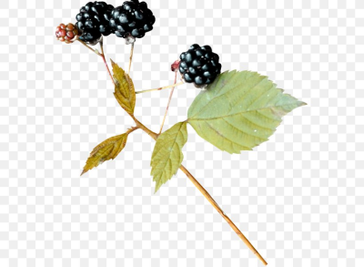Bramble BlackBerry Leaf, PNG, 600x600px, Bramble, Berry ...