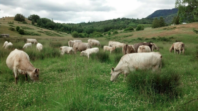 About Murray Grey Cattle — Trace Hallow Beef