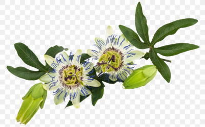 Purple Passionflower Passiflora Caerulea Passion Fruit Vine, PNG ...