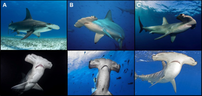 Figure 1 from The biology and conservation status of the large ...