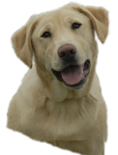 Labrador Retriever PNG images free download