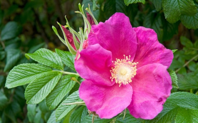 Rugosa Rose Organic Potted Plant - Backyard Berry Plants