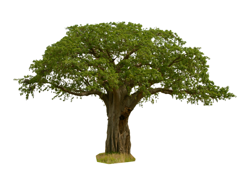 baobab tree PNG 4 by Gareng92 on DeviantArt