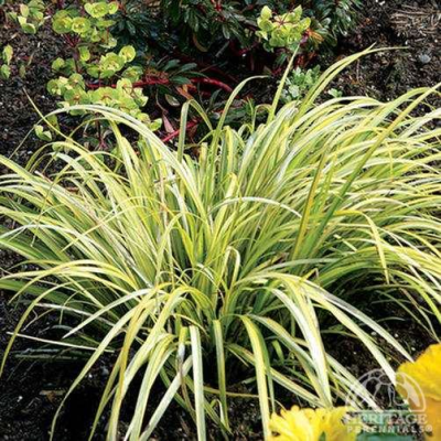 Plant Profile for Acorus gramineus 'Ogon' - Golden Sweet Flag ...