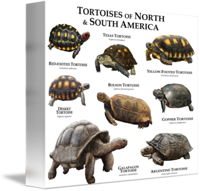 Tortoises of North and South America by Roger Hall