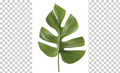 Leaf Swiss cheese plant Philodendron bipinnatifidum Follaje Lucky ...