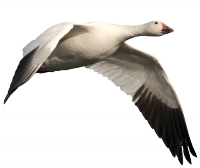 Goose Snow Animal Transparent & PNG Clipart Free Download - YWD