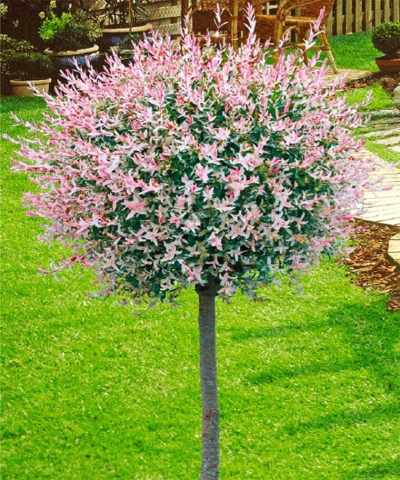 Salix integra 'Hakuro Nishiki' | Trees to plant, Patio trees, Plants