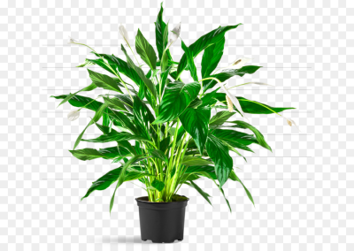 Salix integra Houseplant Tree Plants Flowerpot - tree png download ...