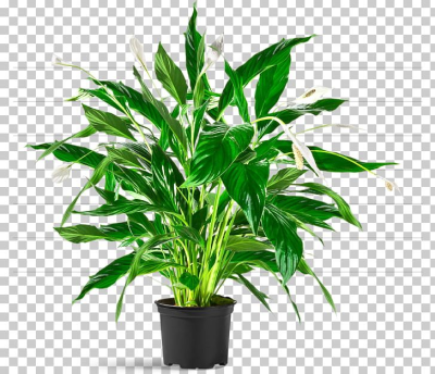 Salix Integra Houseplant Tree Plants Flowerpot PNG, Clipart, Areca ...
