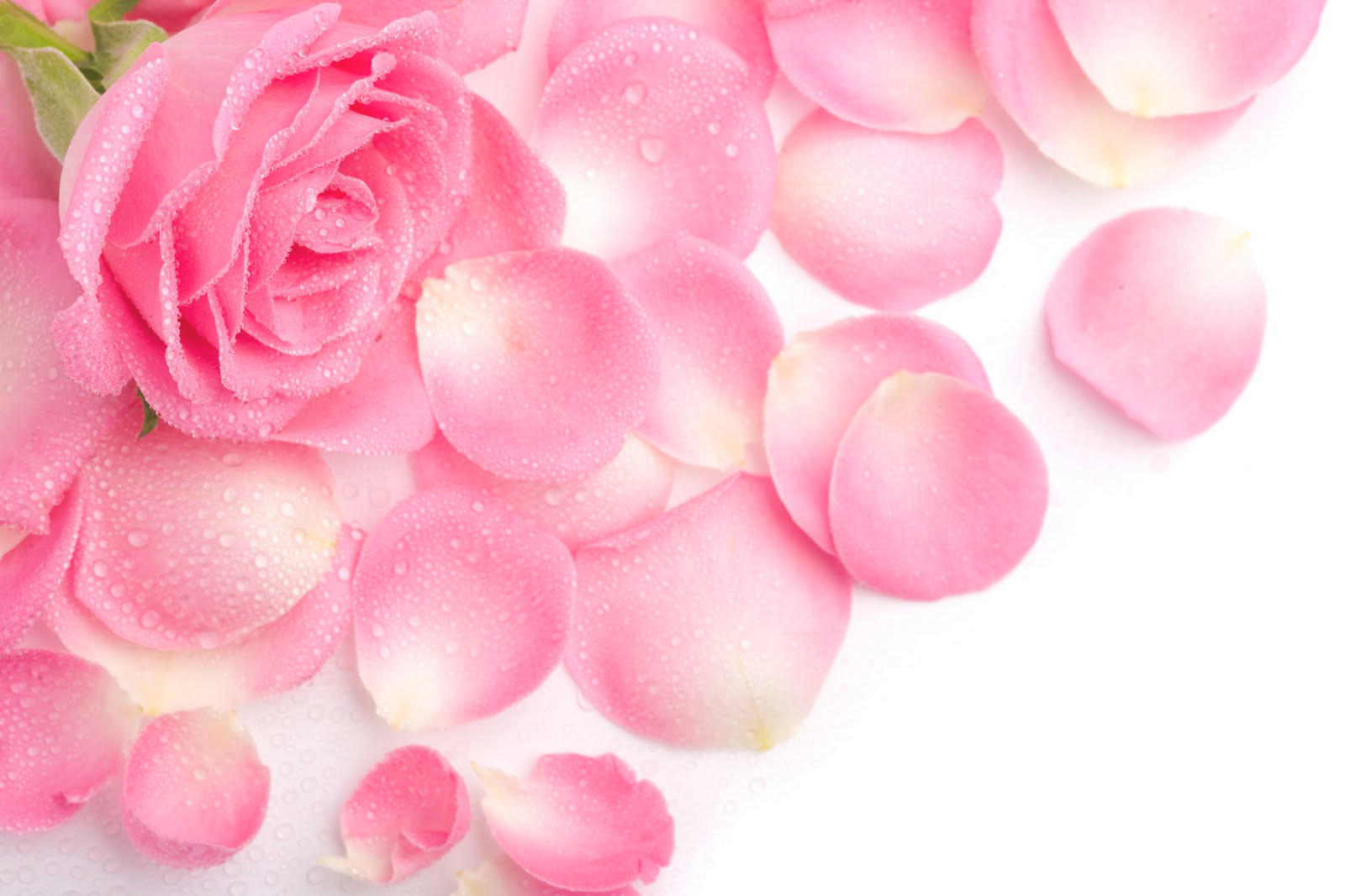 Pink Roses Background | Gallery Yopriceville - High-Quality ...