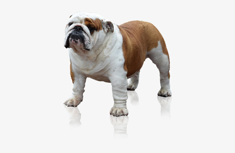 English Bulldog Png - Bulldog - Free Transparent PNG Download - PNGkey
