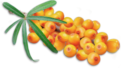 Sea buckthorn PNG images free download