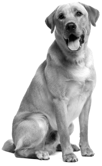 Dog,Mammal,Vertebrate,Dog breed,Canidae,Labrador retriever ...