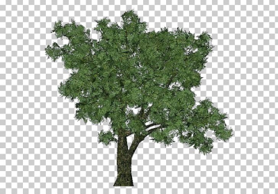 Salix Fragilis Tree Dioecy Deciduous Forest PNG, Clipart, Branch ...