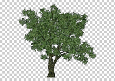 Salix fragilis Tree Dioecy Deciduous Forest, tree PNG clipart ...