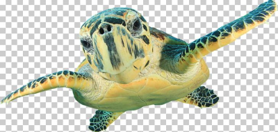 Hawksbill Sea Turtle Wall Decal Green Sea Turtle PNG, Clipart ...