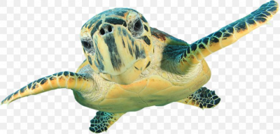 Hawksbill Sea Turtle Wall Decal Green Sea Turtle, PNG, 1023x491px ...