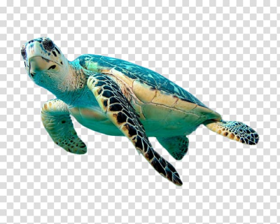 Green sea turtle, Hawksbill sea turtle Green sea turtle , Turtle ...