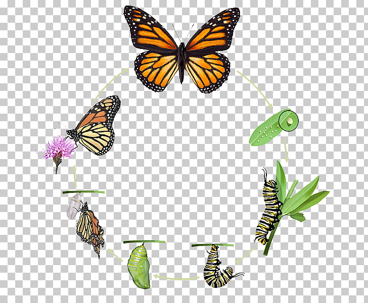 Monarch butterfly Insect Biological life cycle Pupa, life cycle ...