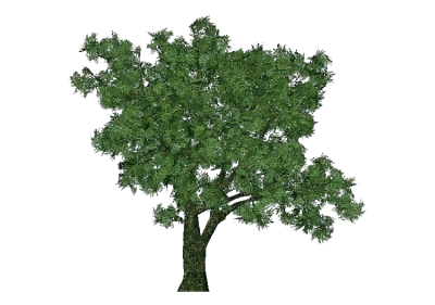 3D Trees - Salix fragilis - ACCA software