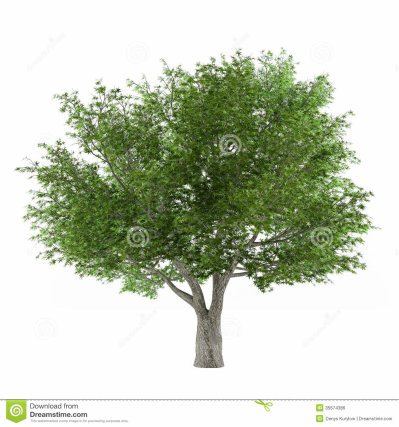 Tree Isolated. Salix Fragilis Stock Photo - Image of wood, fresh ...