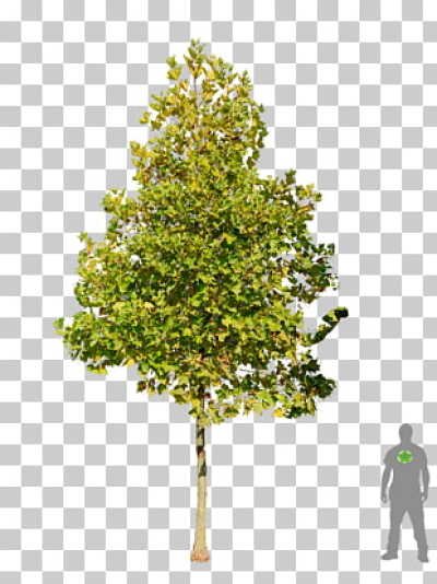 7 salix Fragilis PNG cliparts for free download | UIHere